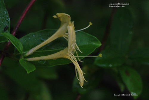 Japanese Honeysuckle - Lonicera japonica