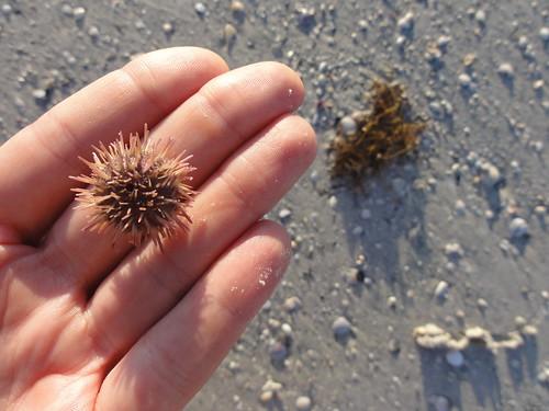 Baby sea urchin