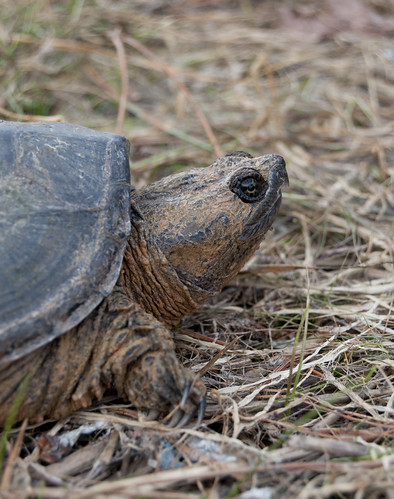 Snapping Turtle!