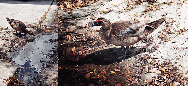 drinking duck diptych