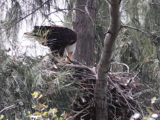 Bald Eagle adult feeding eaglet 20120320