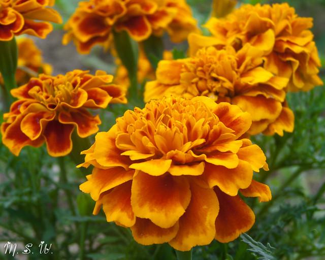 गेंदे के फूल