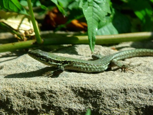 Lizards in Fansipan mountain