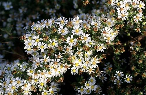 Aster, Myrten - heath aster (aster ericoides 'Snow Flurry'