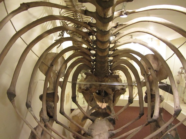 Inside a Killer whale skeleton
