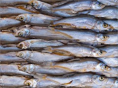 animal, fish, fish, seafood, pacific saury, sauries, oily fish, food, shishamo,