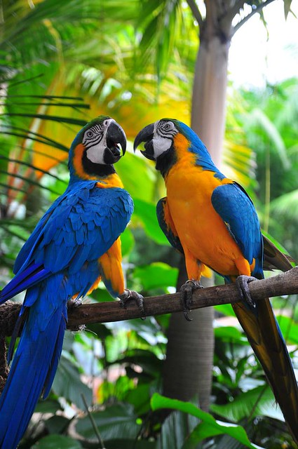 Burung Macau