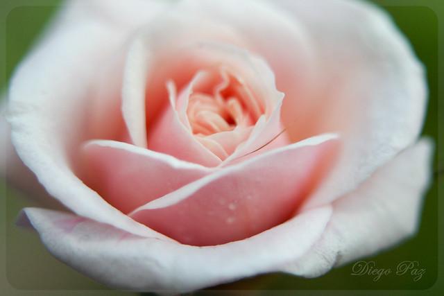 flor,flower,rosa