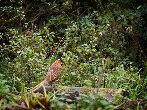 Pheasant near Wakehurst Place