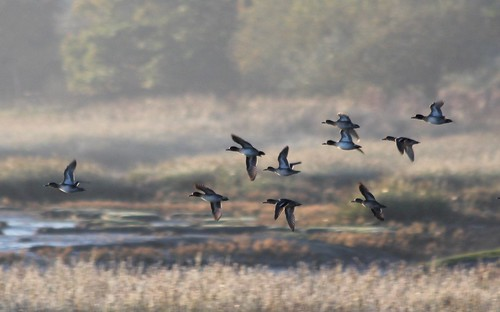 bird southwales wales sunrise hook wildfowl wigeon cleddauestuary pembrokenationalpark easthookfarm