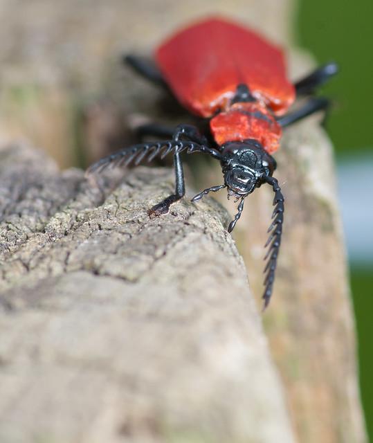 Cardinal beetle - Pyrochroa coccinea 4