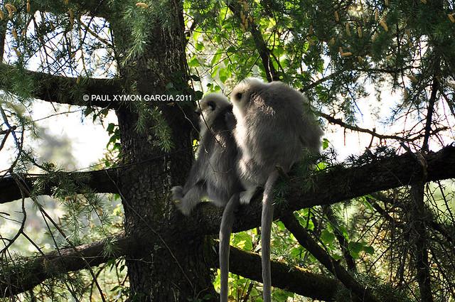 Snow Monkeys, Dhauladhar Himalayas, India