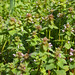Lamium purpurea- purple dead nettle