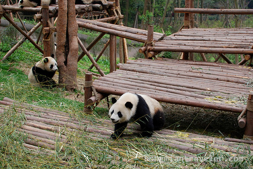 Pandas in Chengdu China 4