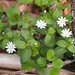 Stellaria pubera-great chickweed