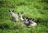 Bat Eared Foxes