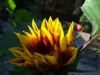 sunflower into sun