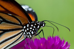 Danaus genutia genutia (Common Tiger) #1