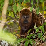 Barbado / Brown howler (Alouatta guariba)