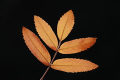 elegant-leaves