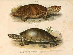 animal, turtle, reptile, fauna, common snapping turtle, illustration, tortoise,
