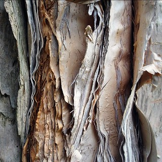 Paper Bark Tree - Detail