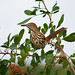 Brown Thrasher (Toxostoma rufum) by KyleCare 