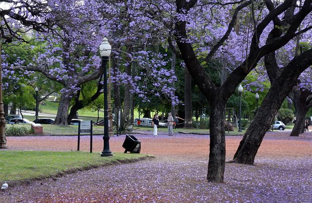 Jacaranda en Buenos Aires 006