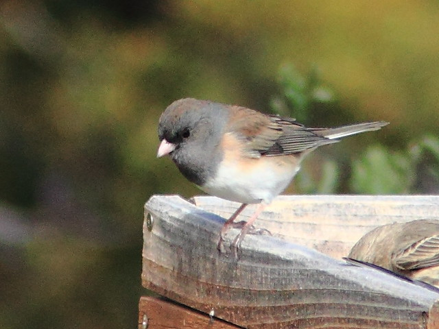 Oregon Junco 20111114