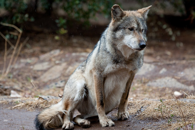 how to draw a wolf sitting down