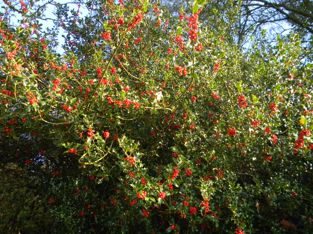 Fruitful holly New Addington to Hayes