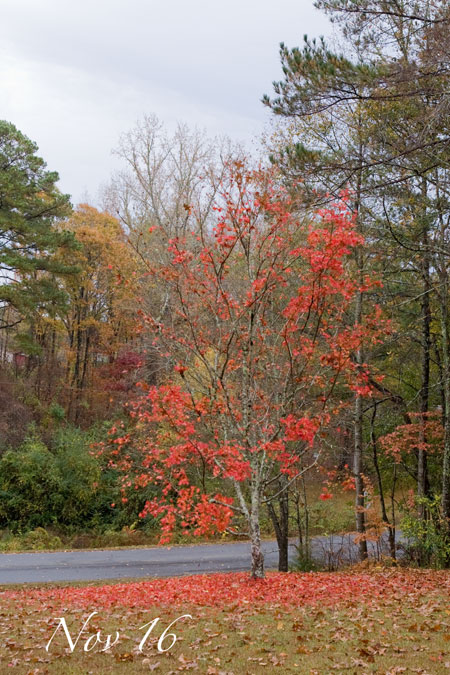 Maple_111611_0002A
