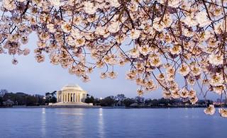 2012 Washington DC Cherry Blossoms