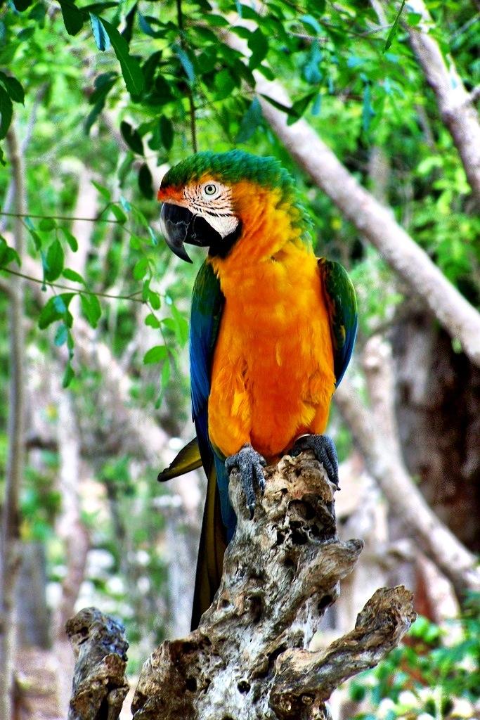 Parrot, Grand Bahama Island