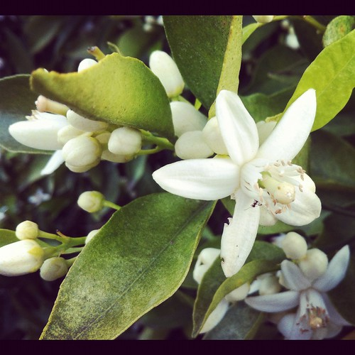 88/366 :: orange blossoms