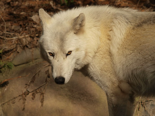 wolf eyes by puckster55pics