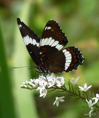 White Admiral in My Garden EXPLORED