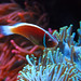 Clown Fish, Long Beach Aquarium, California