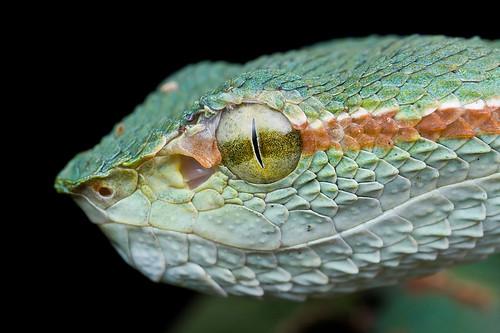 MPE65 viper portrait....IMG_8736 copy