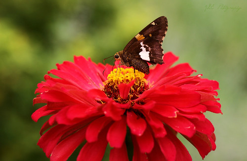 Butterfly on a Zinna