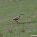 Small photo of Standing Curlew Photo credit: Jane Abel