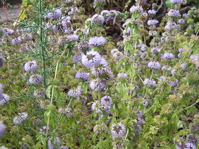 Chemical Composition Of Mentha Pulegium L Pennyroyal: Pennyroyal Mint Mentha Pulegium
