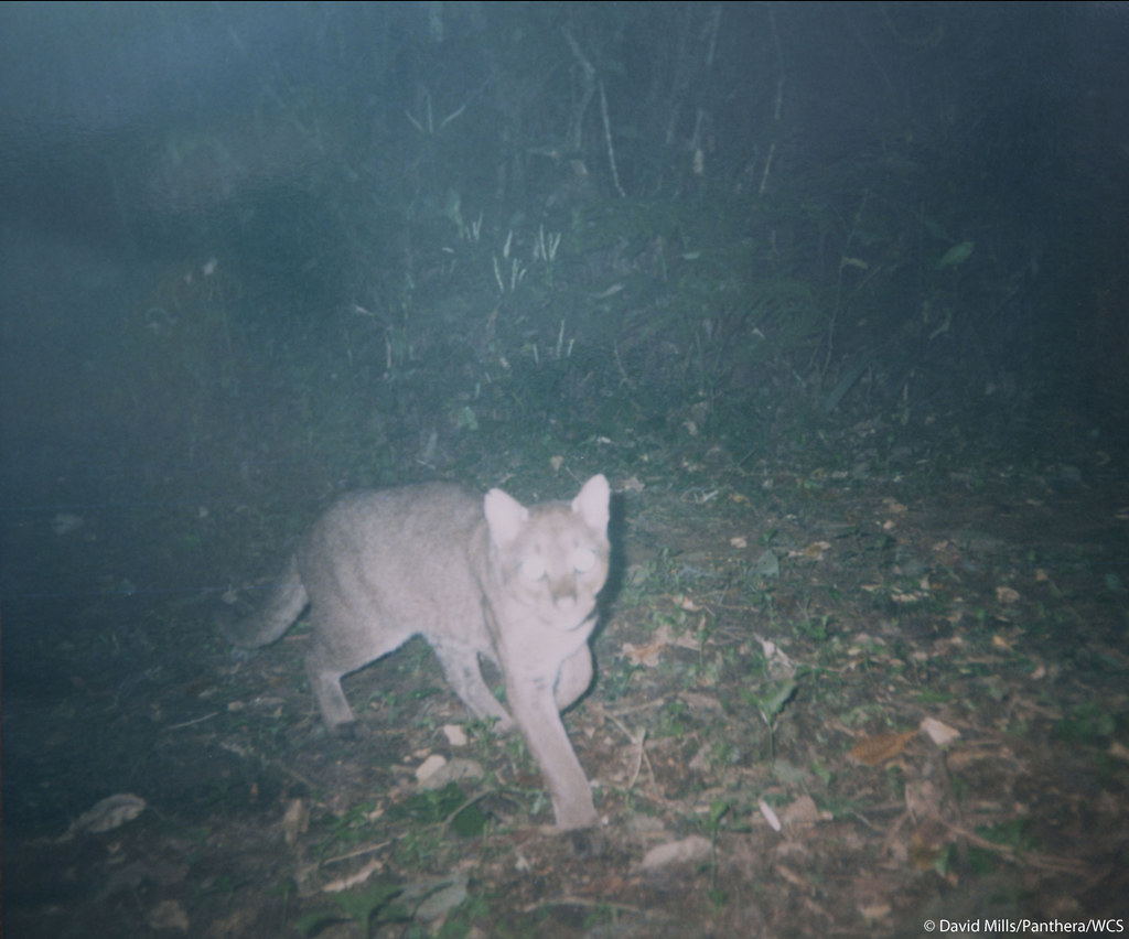 Camera trap photo of an African golden cat taken by Panthera Kaplan scholar and graduate student David Mills, who is leading a project to study the species in Uganda's Kibale Forest where the golden cat is the region's top predator since the local extinction of the leopard. Another Kaplan scholar, Laila Bahaa-el-din, is working on a project in Gabon to understand how African golden cats are affected by different levels of human activity, such as forestry and hunting, which are prevalent across forested Africa. The scientific data obtained through Laila's and David's projects will be invaluable to Panthera's efforts to implement effective conservation initiatives on behalf of this rare species.  See the first video footage of a wild African golden cat and get more information about this elusive wild cat at bit.ly/pNCOoz.