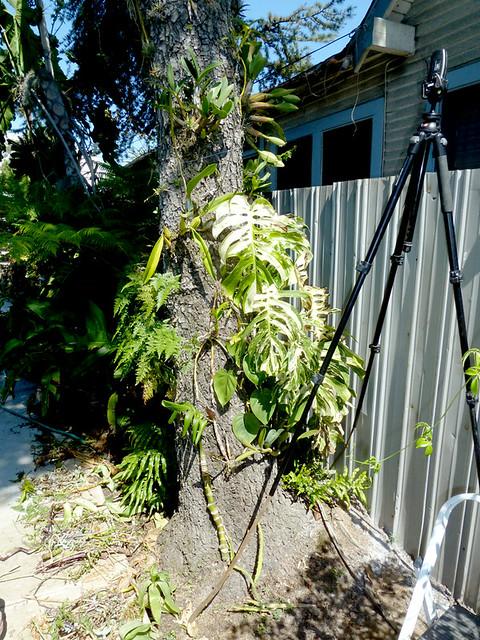 Symbiotic Orchid Germination 6 195