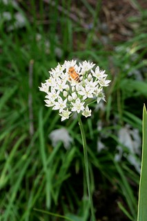 The Buzz About Garlic chives