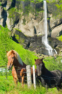 Icelandic horses with waterfall