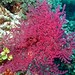 Small photo of Sea Fan (Acabaria sp.)