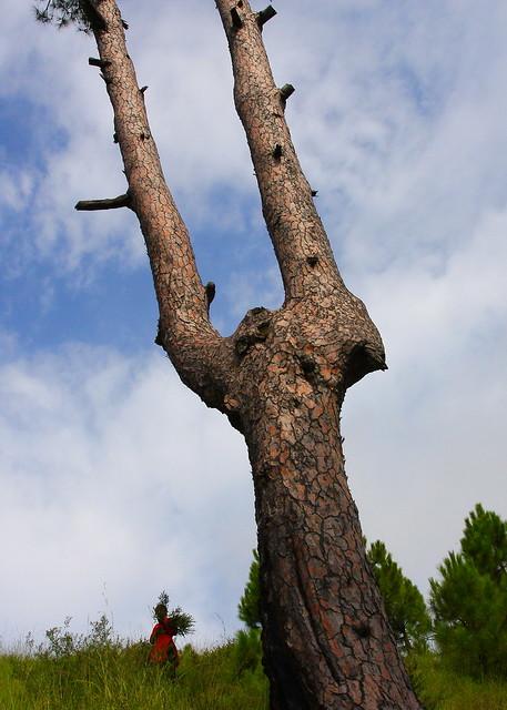Forked pinus wallichiana tree, near Danna village, Kashmir