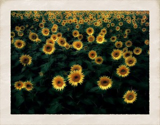 Chorus of sunflower