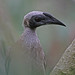 Helmeted Friarbird - Photo (c) Jerry Oldenettel, some rights reserved (CC BY-NC-SA)